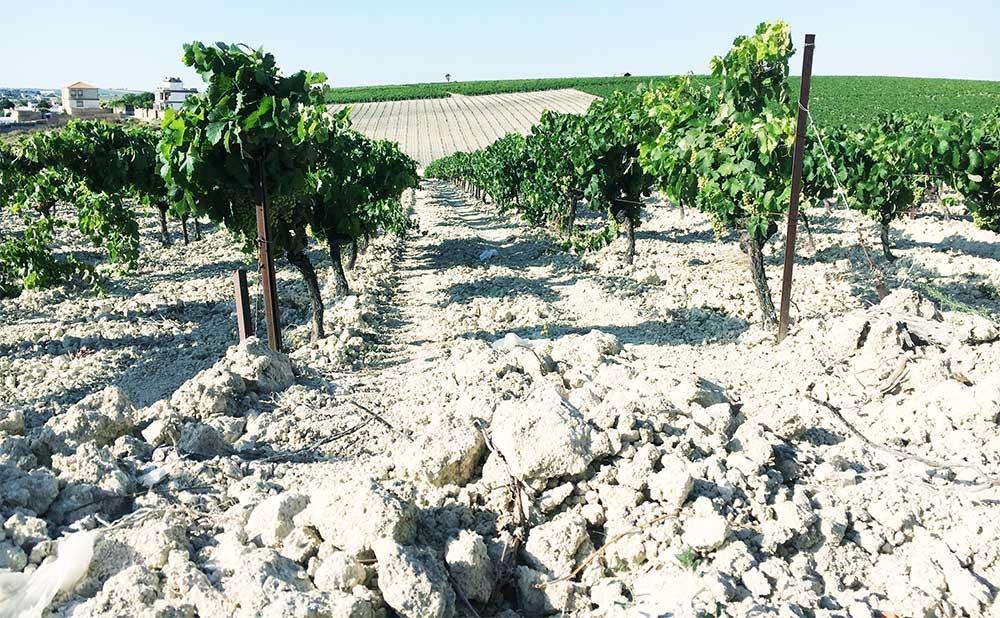 Sherry vineyard with white Albariza soil
