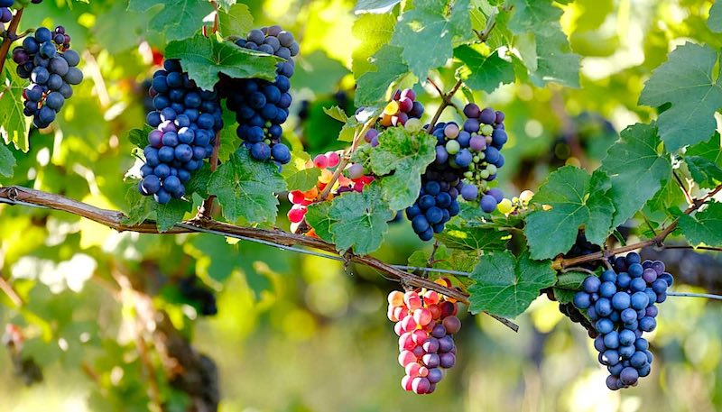 Areni grape varietal