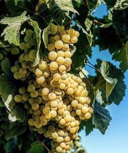Palomino grape varietal used for Sherry wine