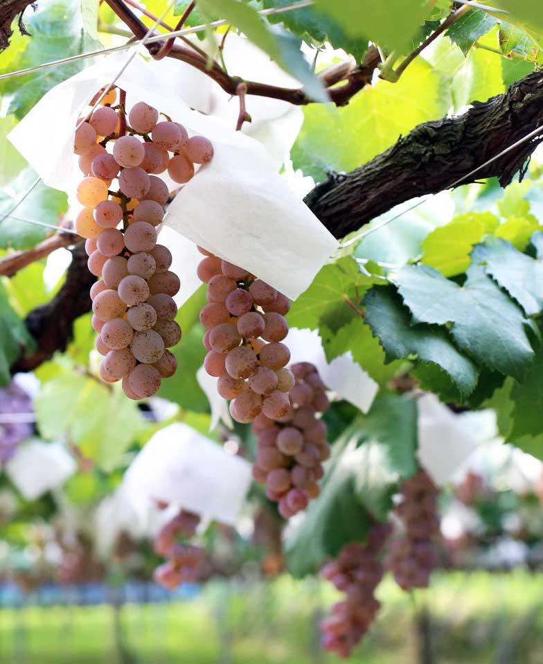 Japanese grape varietal Koshu